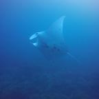 Manta Ray Free Dive